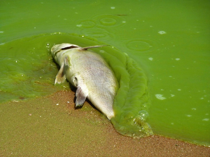 Algal blooms disturb the ecosystem of bodies of water, causing health threats to humans and animals.