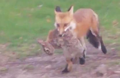 This fox spotted at a municipal well facility just off campus. (Photo Courtesy of the City of Madison)